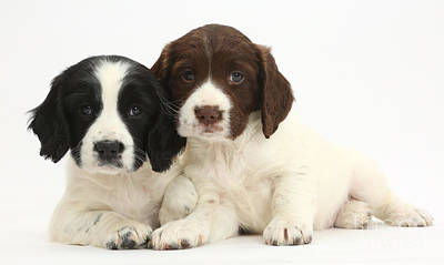 House Pet Photograph - Springer Spaniel Puppies by Mark Taylor