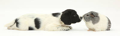 Cavy Photograph - Springer Spaniel Puppy And Guinea Pig by Mark Taylor
