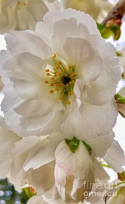 Photograph - Spring Blossoms Softness by Susan Garren