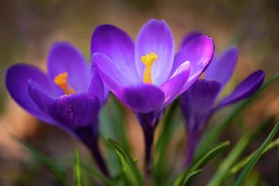 Photograph - Spring's Heralding Trio by Kim Carpentier
