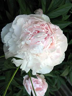 Art Print featuring the photograph Springs Peony by Carol Sweetwood