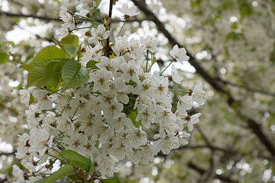 Photograph - Springtime Abundance - Masses Of White Blossoms by Georgia Mizuleva