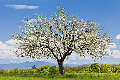 Photograph - Springtime Apple Tree by Alan L Graham