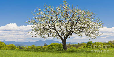 Photograph - Springtime Apple Tree Panorama by Alan L Graham