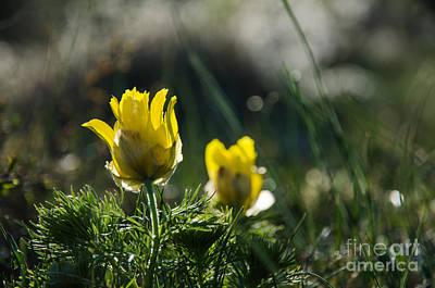 Photograph - Springtime Beauty Flower by Kennerth and Birgitta Kullman