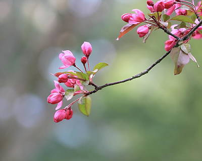 Photograph - Springtime Blossoms  by Angela Murdock
