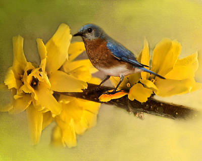 Photograph - Springtime Bluebird by TnBackroadsPhotos