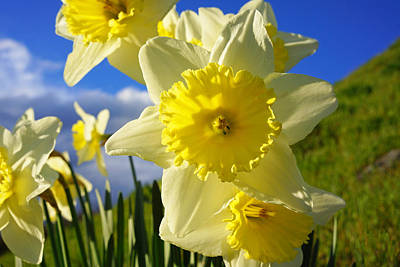 Photograph - Springtime Bright Sunny Daffodils Art Prints by Baslee Troutman