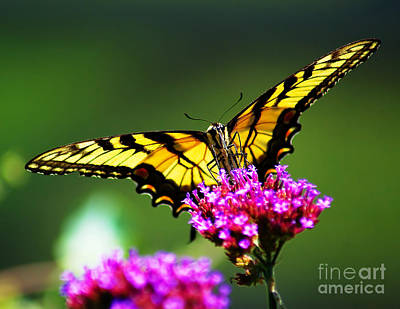 Photograph - Springtime Butterfly by Nick Zelinsky