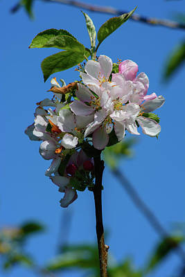 Photograph - Springtime Cherry Tree Blossoms by Tikvah's Hope