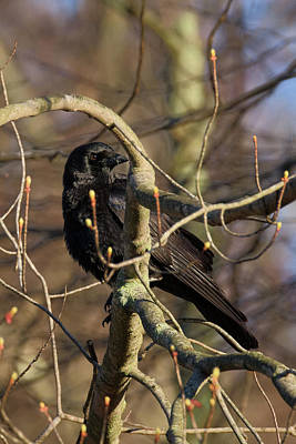 Art Print featuring the photograph Springtime Crow by Bill Wakeley