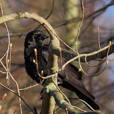 Crow Photograph - Springtime Crow Square by Bill Wakeley