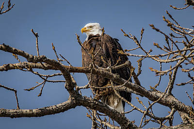 Photograph - Springtime Eagle by Ray Congrove