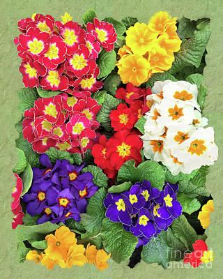 Photograph - Springtime - Garden Primula by Gabriele Pomykaj