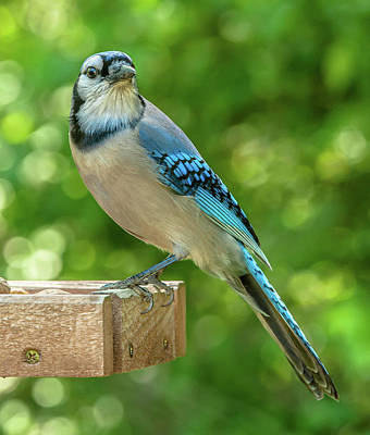 Photograph - Springtime Jay by Jim Moore