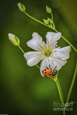 Photograph - Springtime Ladybug by Mitch Shindelbower