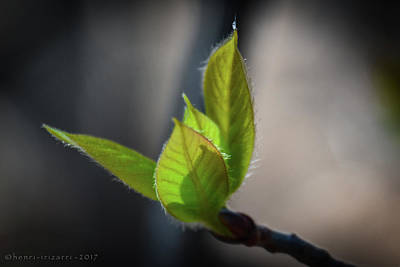 Photograph - Springtime Leaves by Henri Irizarri