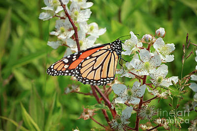 Photograph - Springtime Monarch Butterfly by Elizabeth Dow