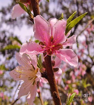 Photograph - Springtime Peach Blossom by D Hackett