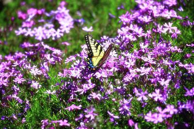 Photograph - Springtime Phlox by Jill Lang