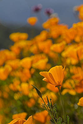 Spring Photograph - Springtime Poppies by April Bielefeldt