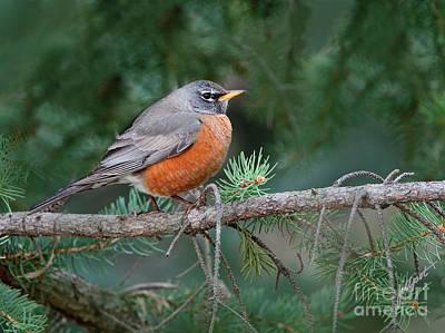 Photograph - Springtime Robin by Jim Fillpot