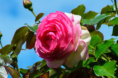 Photograph - Springtime Rose by Tikvah's Hope