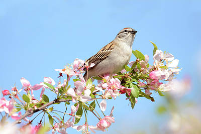 Photograph - Springtime Sparrow by Ann Bridges