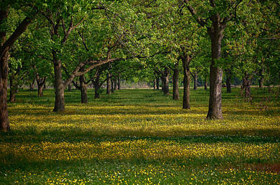 Springtime Through The Pecan Trees Art Print