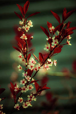 Photograph - Springtime Tree Blossoms 2 by Sherman Perry