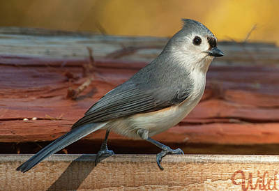 Photograph - Springtime Tufted Titmouse by Jim Moore