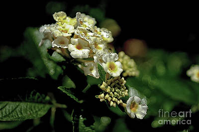Photograph - Sprinkles On Lantana Flower by Michelle Meenawong