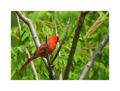 Photograph - Spring Northern Cardinal 2 by Edward Peterson