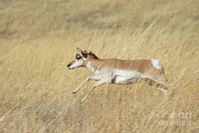Photograph - Sprinting Pronghorn by Bill Gabbert