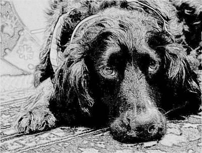Photograph - Sprocker Sketch by Kristina Deane
