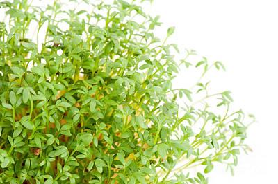 Sprouts Of Lepidium Sativum Or Cress Growing  Art Print
