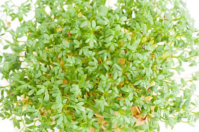 Sprouts Of Lepidium Sativum Or Cress Plants  Art Print