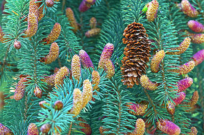 Photograph - Spruce Cones by Sharon Talson