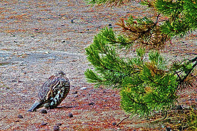 Photograph - Spruce Grouse In Colter Bay In Grand Tetons National Park, Wyoming by Ruth Hager