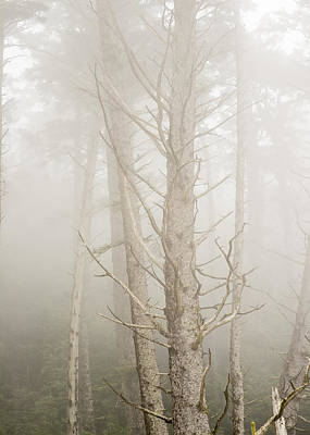 Photograph - Spruce In The Fog by Robert Potts