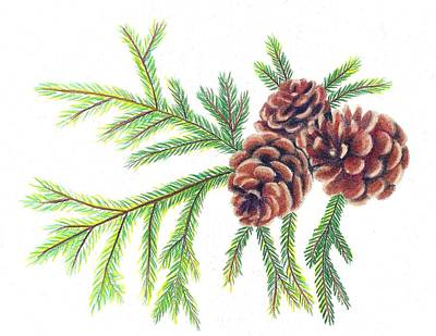 Pine Cones Drawing - Spruce Pine by Scarlett Royal
