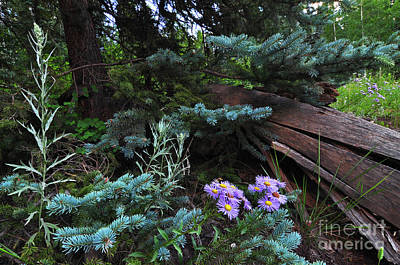 Photograph - Spruced Up Asters by Randy Rogers