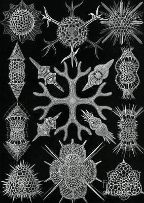 Aquatic Life Drawing - Spumellaria by Ernst Haeckel