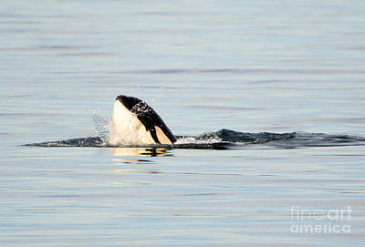 Orca Photograph - Spy Hop Splash by Mike Dawson