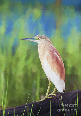 Digital Art - Squacco Heron Ardeola Ralloides by Liz Leyden