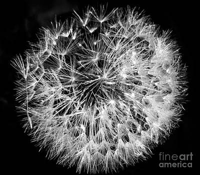 Photograph - Square Black And White Dandelion Dew Droplets by Cheryl Baxter