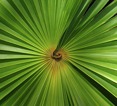 Photograph - Square Palmetto Leaf by Rosalie Scanlon