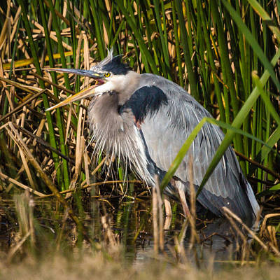 Photograph - Squawking Heron by Gregory Daley  PPSA