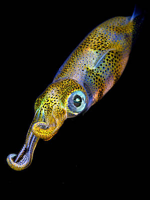 Squids Photograph - Squid At Night by Rico Besserdich