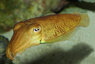 Photograph - Squid Portrait by Gary Shepard